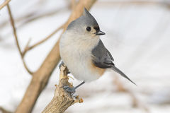 Small grey Tufted titmouse bird perched on a tree branch Royalty Free Stock Photo