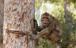 Small grinning monkey on the rope Stock Photos