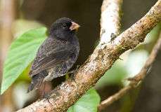 Small Ground Finch Stock Photography
