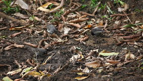 Small Ground Finch, Geospiza fuliginosa, from the Galapagos stock footage