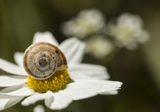 Small ground snail resting on a daisy flower Stock Photo
