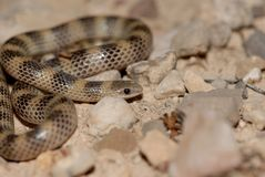 Sonora semiannulata. A small ground snake from west Texas near the Mexico border Royalty Free Stock Images