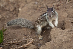 Small ground squirrel Royalty Free Stock Photography