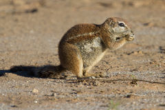 Small ground squirrel sitting on sand eating his food morning su Stock Photo
