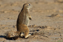 Small ground squirrel sitting on sand eating his food morning su Royalty Free Stock Photography