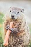 Small Groundhog standing with carrot Stock Photos