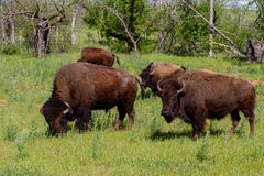 A Small Group of American Bison Roaming the Range in Oklahoma. A Small Group of American Bison (Bison bison), also Known as the American Buffalo, Living Free on Stock Photography