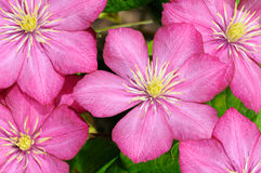 Small group of beautiful flowers (clematis) Royalty Free Stock Images