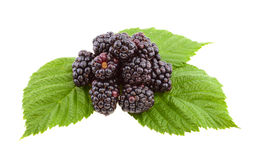 Blackberries on green leaf. Royalty Free Stock Photos