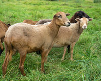 Small group of brown sheep Stock Photography