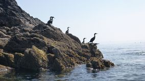Cormorants on the Roseland Coast Cornwall stock images