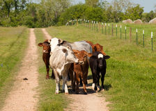 Small group of cows Royalty Free Stock Images