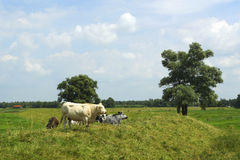 Small group of cows in an open field in Holland royalty free stock image
