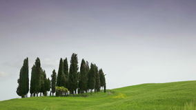 Small group of cypresses against a green field. Tuscany stock video