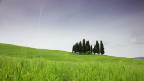Small group of cypresses against a green field. Tuscany stock footage