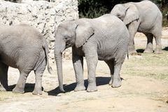 Elephants family in Zoo stock photo