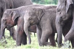 Small group of elephants including two babies. Small group of grazing elephants with two babies viewed side-on in Sri Lanka stock photo