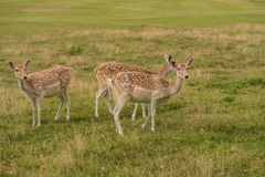 A small group of Fallow deer Stock Images