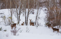 A group of female Red Deer in winter Royalty Free Stock Photo