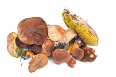 Small group of forest mushrooms Stock Photography
