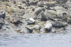 Small group of grey seals on rocks Royalty Free Stock Image