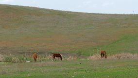 Small Group Of Horses Grazing On Field stock footage