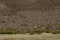 Small group of llamas walking Stock Photos