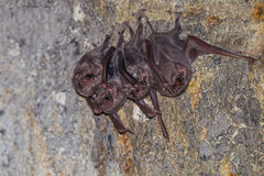 Small group of Long-winged Tomb Bat( Stock Image