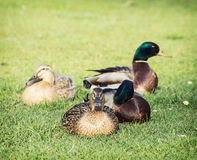 Small group of mallard ducks in the park Stock Images