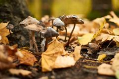 A small group of mushrooms made their way through the fallen lea. A small group of mushrooms toadstools made their way through the fallen leaves in the forest Stock Photography