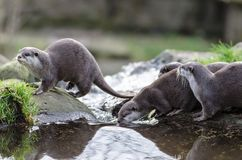 A small group of otters standing on rocks and drinking from a po. Ol of water royalty free stock photo