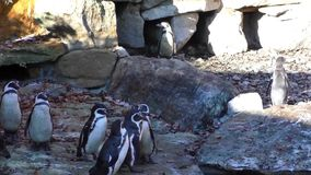 A small group of penguins on the rocks background stock video