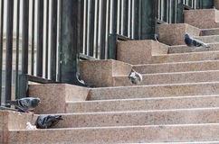 Small group of pigeons feeding Royalty Free Stock Images