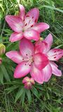 Small group pink & white Lillies royalty free stock photo