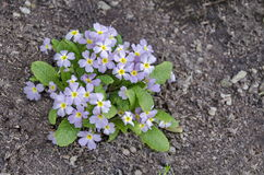 Small group of Primrose or  Primula vulgaris flowers on a bed in garden,  Sofia Royalty Free Stock Photos