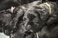 Small group puppi Miniature Schnauzer Royalty Free Stock Photo