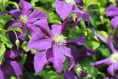 A small group of purple Clematis Stock Photo