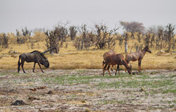 Small group of red hartebeest Stock Photography