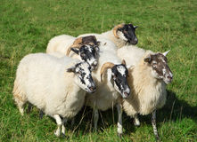Small group of Scottish Blackface sheep Royalty Free Stock Image