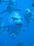 Small group of Snappers. During mating time, Ras Mohammed National Park , Sinai, Egypt Stock Photo