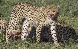 Cheetah feeding on a carcass Royalty Free Stock Photos