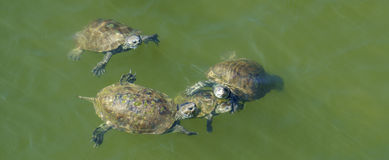 Small group of terrapins Royalty Free Stock Photography