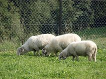 A small group of three sheep eating grass in a field or green rural farmland area stock photography