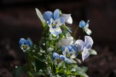 White and blue viola flowers. A small group of white and blue viola flowers and leaves Stock Photo