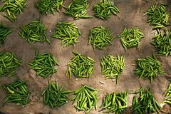 Free Small Groups Of Green Chillies Royalty Free Stock Photos - 172315508