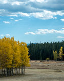 Small Grove of Aspen Trees in Field Royalty Free Stock Photos
