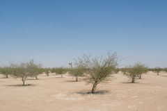 Small growing planted young trees alley in the desert Royalty Free Stock Photos