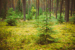 Small growing spruce fir tree in coniferous forest Stock Photography
