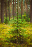 Small growing spruce fir tree in coniferous forest Royalty Free Stock Images