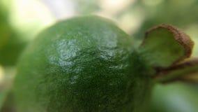 Small guava fruit Royalty Free Stock Photos